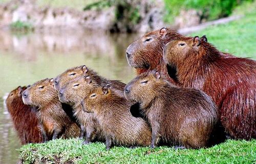 Семейство капибара