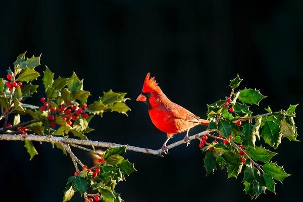 Птицы красного цвета с фото и описанием - Красный или виргинский кардинал