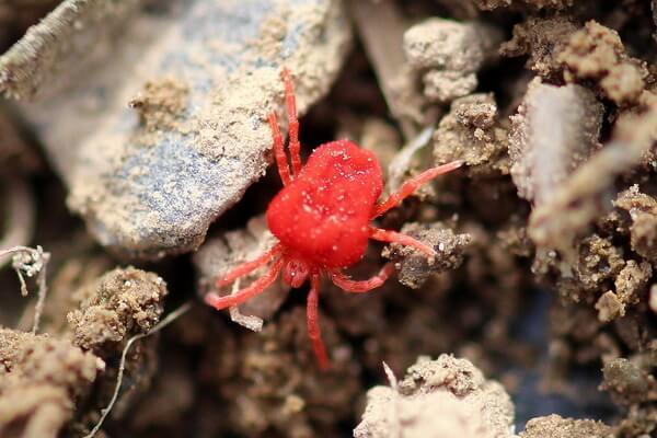Животные красного цвета с фото и описанием - Клещи-краснотелки или бархатные клещи