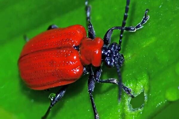 Животные красного цвета с фото и описанием - Лилейная трещалка
