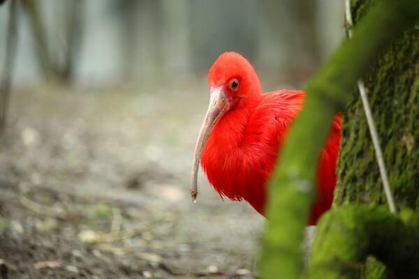 Птицы красного цвета с фото и описанием - Красный или алый ибис