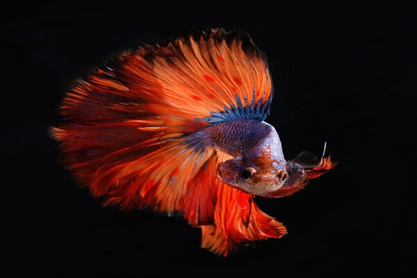 Животные красного цвета с фото и описанием - Сиамский петушок или бойцовская рыбка
