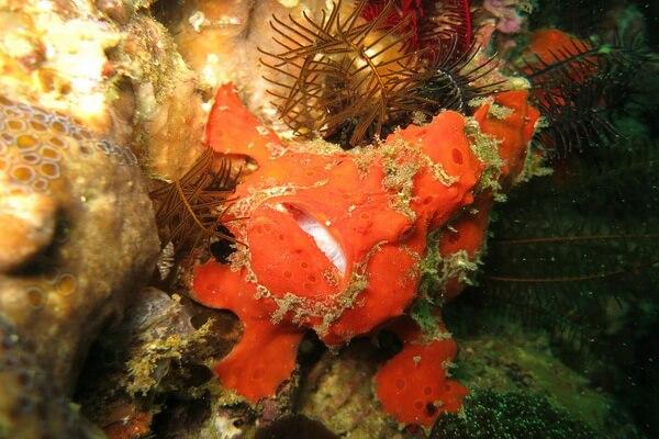 Животные красного цвета с фото и описанием - Красные морские черти или красные удильщики