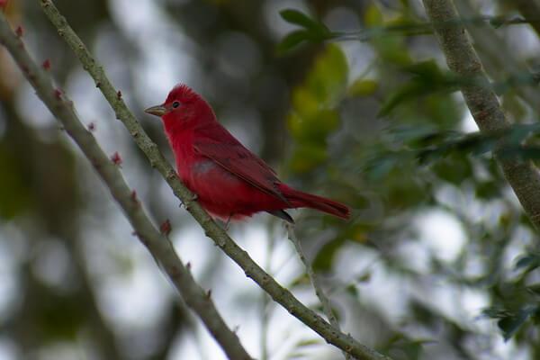 Птицы красного цвета с фото и описанием - Алая пиранга