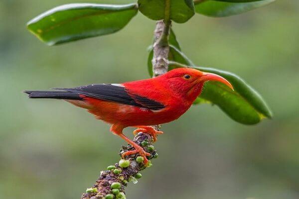 Птицы красного цвета с фото и описанием - Гавайские цветочницы