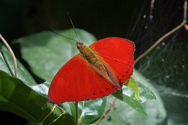 Животные красного цвета с фото и описанием - Цимотое Сангарис