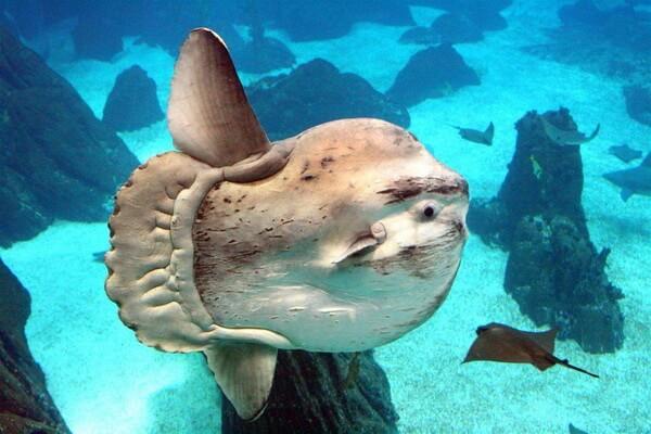 Самые большие животные в океане с фото и описанием - Рыба-солнце