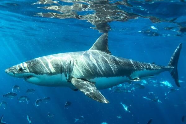 Самые большие животные в океане с фото и описанием - Большая белая акула