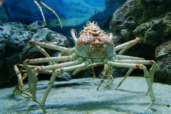 Самые большие животные в океане с фото и описанием - Японский краб-паук