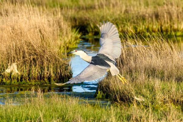 Кваква - фото и описание птицы