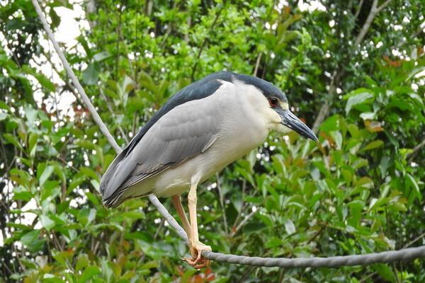 Места обитания птицы кваквы