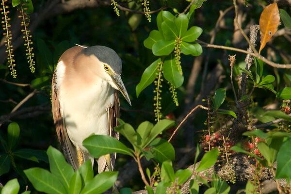 Виды кваквы с фото - Каледонская кваква