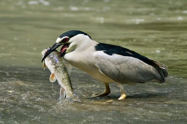 Чем питается птица кваква
