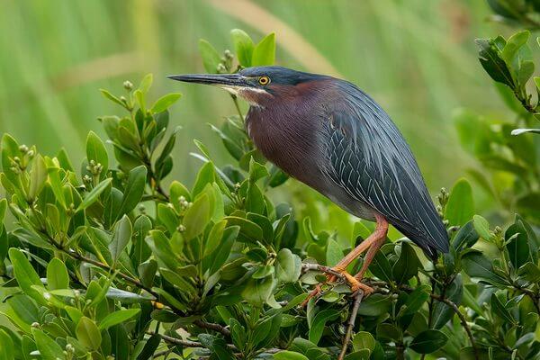 Образ жизни птицы кваквы