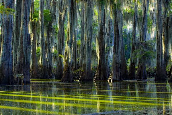 Водные кипарисы и испанский мох - основная флора озера Каддо