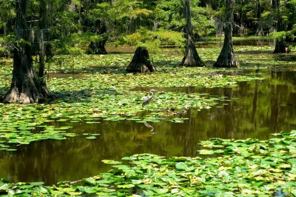 Флора и фауна озера Каддо