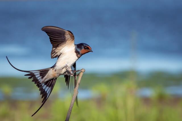 Птица ласточка - фото, описание, интересные факты