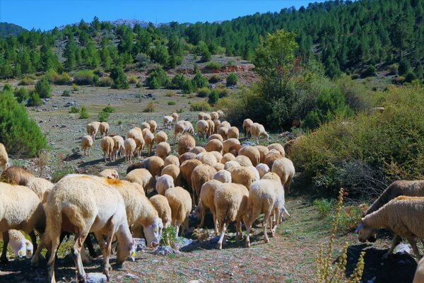 История лавандовых полей Турции
