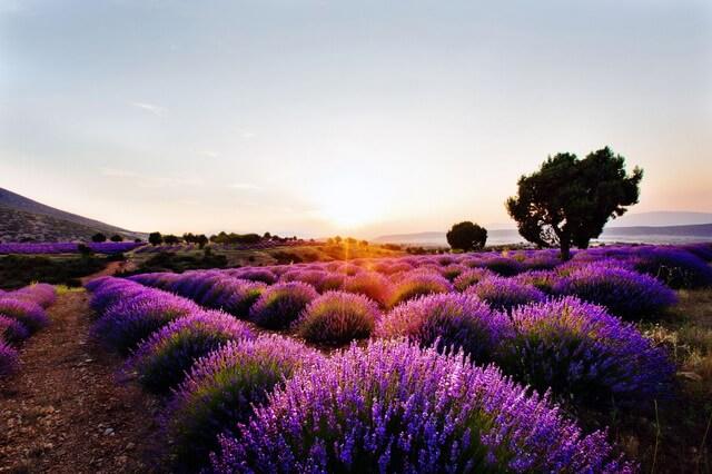 Лавандовые поля в Турции - где растут, когда цветут, как добраться