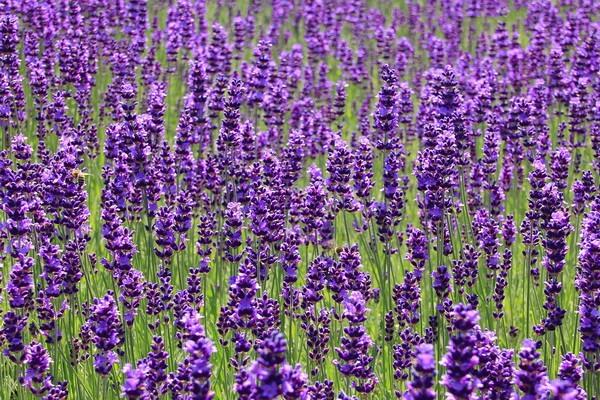 Cписок мест, где можно увидеть цветение лаванды в Крыму