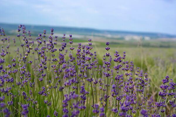 Где находятся лавандовые поля в Крыму - полный список мест, включая частные и заброшенные поля лаванды