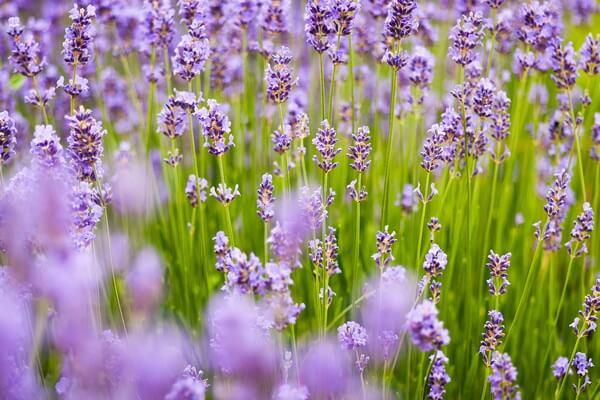 Лучшее время цветения лаванды в Крыму