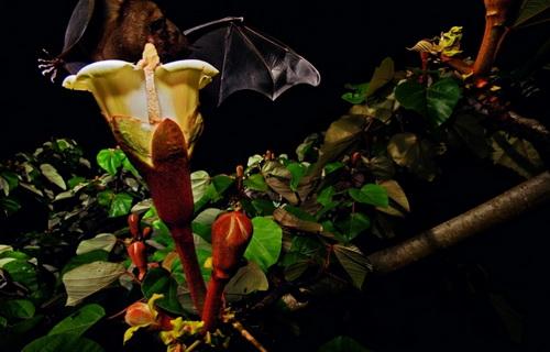 Летучая мышь в джунглях Панамы