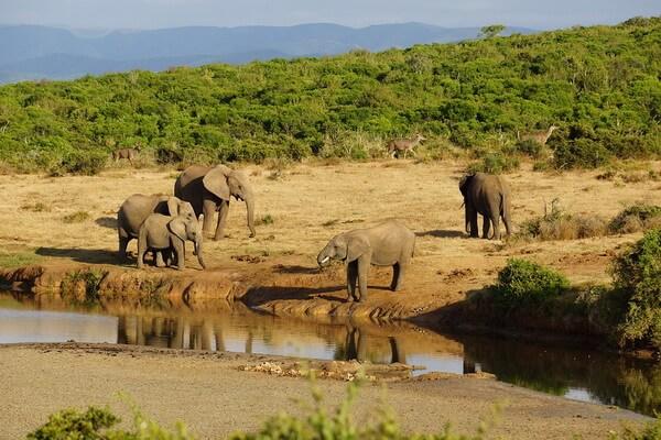 Самые громкие животные - Африканский слон – 117 дБ