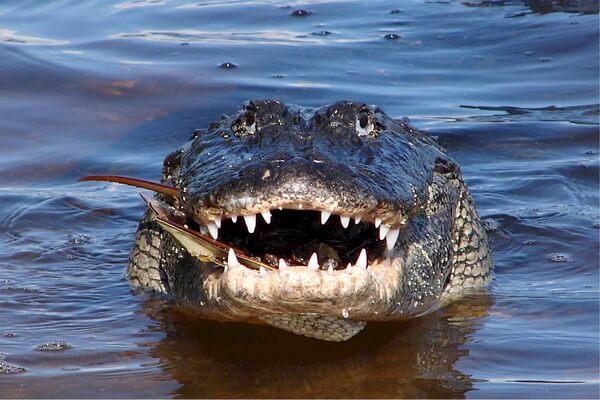 Самые громкие животные - Миссисипский аллигатор – 90 дБ