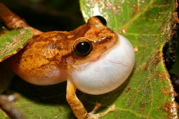 Самые громкие животные - Лягушка коки – 100 дБ