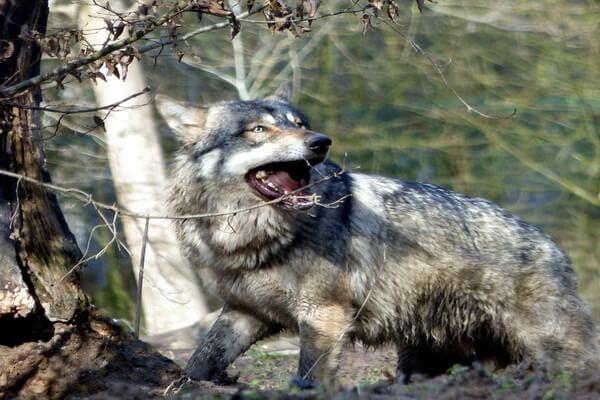 Самые громкие животные в мире - Серый волк – 115 дБ