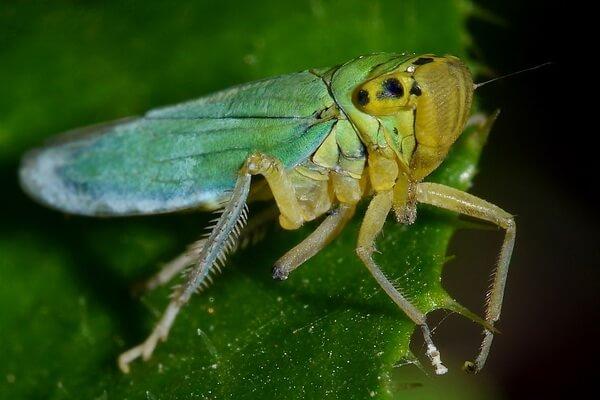 Громкие звуки насекомых - Зелёная цикадка – 120 дБ