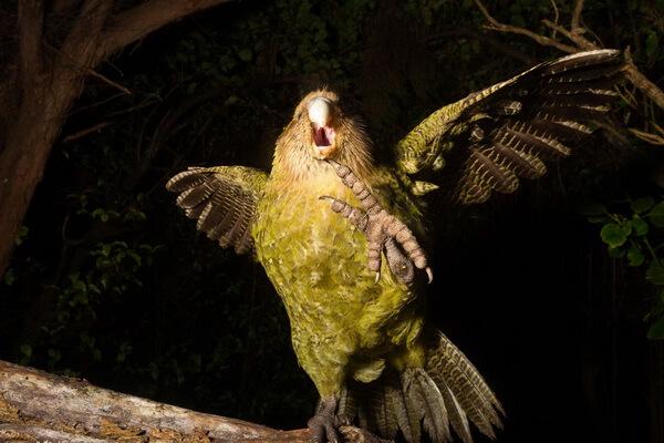 Самая громкая птица - Какапо – 132 дБ