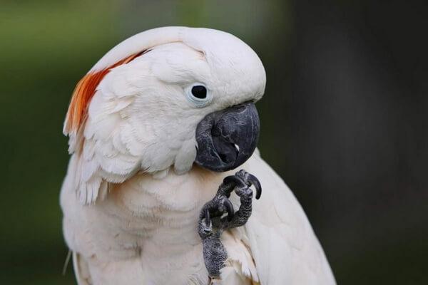 Птицы, издающие громкие звуки - Молуккский какаду – 129 дБ