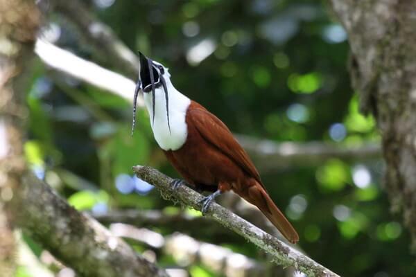 Птицы, издающие громкие звуки - Трёхусый звонарь – 100 дБ