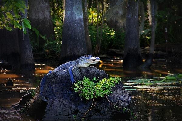 Болота Манчак в штате Луизиана (США)
