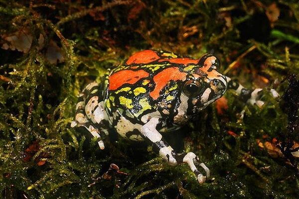 Лягушки Мадагаскара с фото и описанием - Малагасийская радужная лягушка