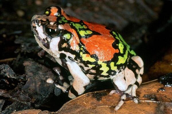 Лягушки Мадагаскара с фото и описанием - Узкорот лопатоногий