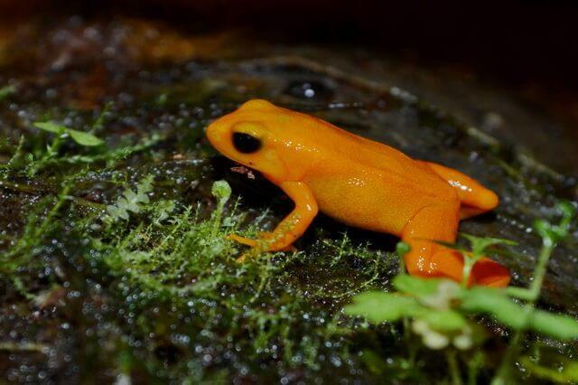 Лягушки Мадагаскара - фото, названия, описание