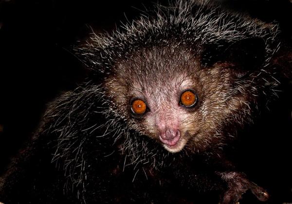 Удивительное животное - мадагаскарская руконожка