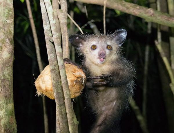 Мадагаскарская руконожка - что за зверек