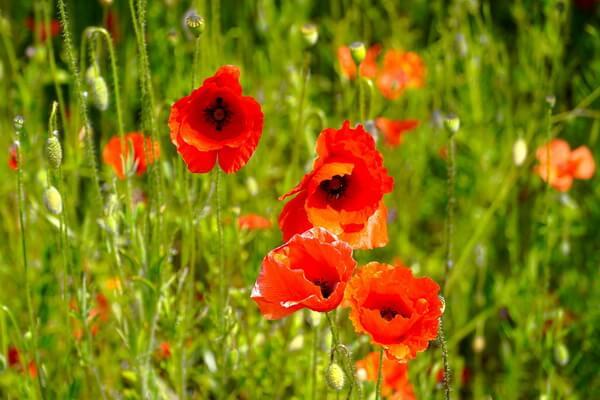 Где и когда цветут маковые поля в Крыму - список мест и условия цветения