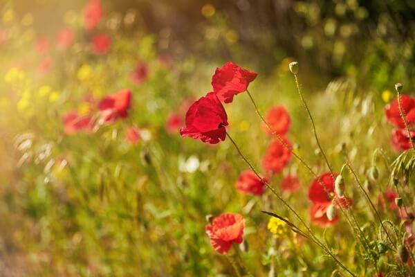 Когда цветут маковые поля в Крыму