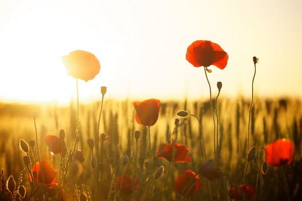 Цветение маковых полей в Крыму