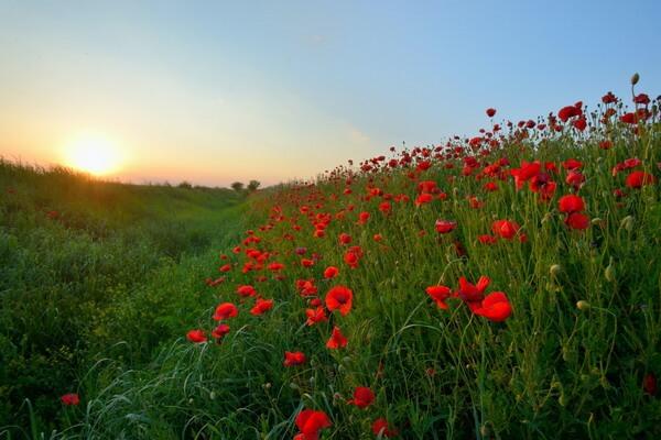 Маковые поля в Крыму - места нахождения и период цветения