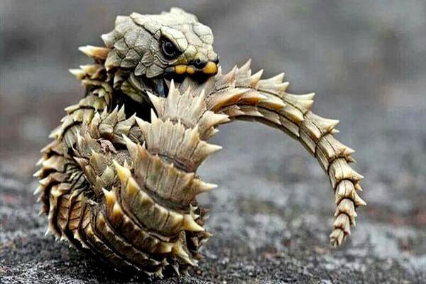 Необычные ящерицы - Малый поясохвост