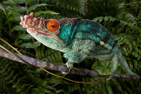 Необычные ящерицы - Хамелеон Парсони