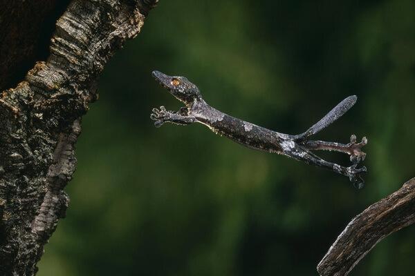 Необычные ящерицы - Летающие гекконы