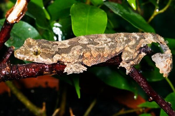 Необычные ящерицы - Лопастехвостый геккон