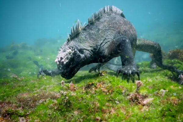 Необычные ящерицы - Морская игуана